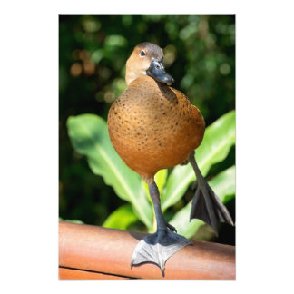 Fulvous Whistling Duck On Rail Photo Print