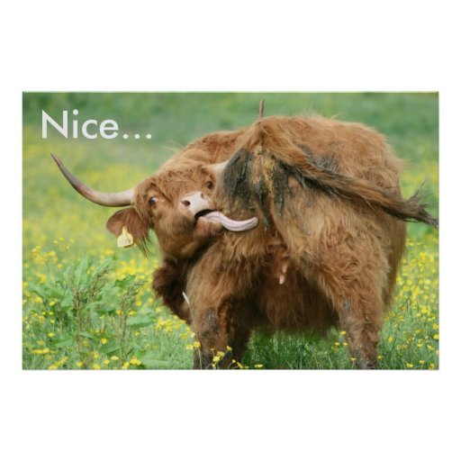 Funny Aberdeen Angus Cow Poster Print