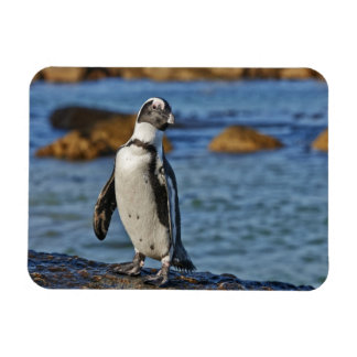 funny African Penguin, Boulders Beach Magnets