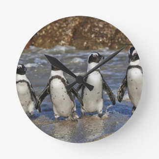 funny African Penguins, Cape Town Round Clock