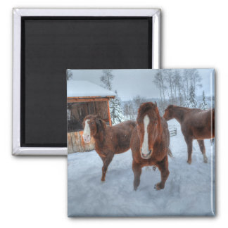Funny Amorous Stallion and Reluctant Mare Horses Refrigerator Magnets