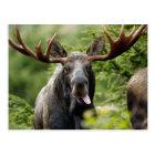 Funny Bull Moose Postcard