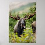Funny Bull Moose Poster