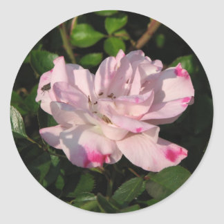 Funny Face Shrub Rose 115 Stickers