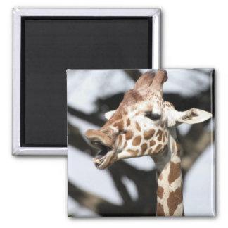 Funny faced reticulated giraffe, San Francisco Fridge Magnet