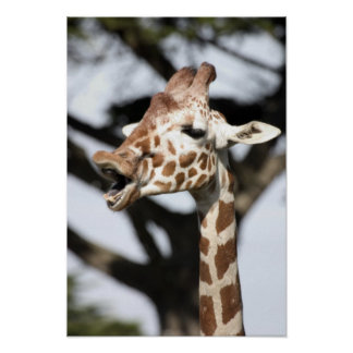 Funny faced reticulated giraffe, San Francisco Poster