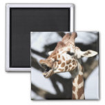 Funny faced reticulated giraffe, San Francisco Square Magnet