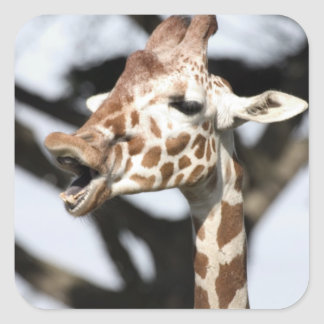 Funny faced reticulated giraffe, San Francisco Square Sticker