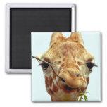 funny giraffe baby square magnet