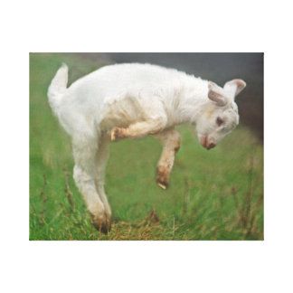 Funny Goat Baby White Goat Jumping in Pasture Canvas Print