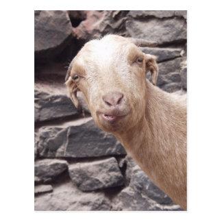 Funny Goat Postcard