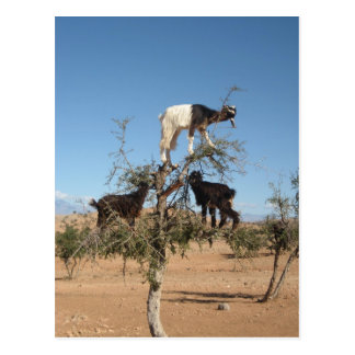 Funny goats in a tree postcard