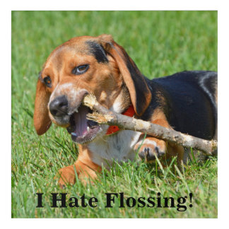 Funny I Hate Flossing Beagle Chewing On A Stick Acrylic Print