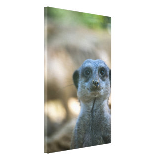 Funny Meerkat Gallery Wrapped Canvas