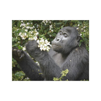 funny mountain gorilla eating flowers gallery wrap canvas