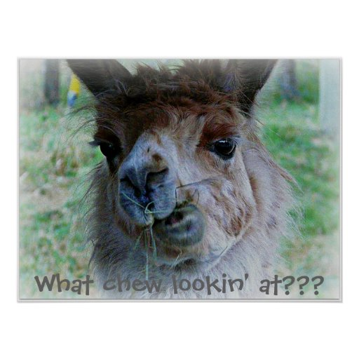 Funny photo of a  llama's  face on a poster