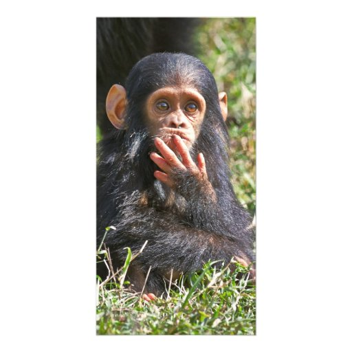 funny picture of young chimpanzee photo card