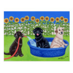 Funny Pool Party Labradors Postcard