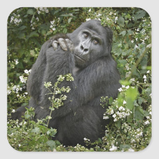 funny praying mountain gorilla :-) square stickers