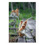 Funny Proboscis monkeys Post Cards