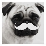 Funny White Moustache Pug Poster