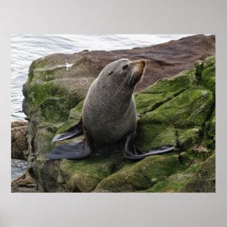 Fur Seal Posters