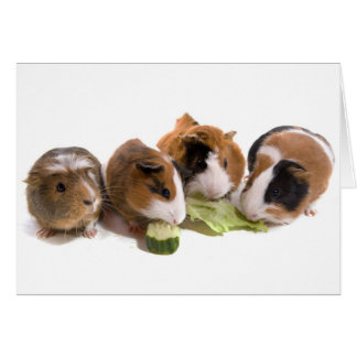 furnace guinea pigs who eat, card