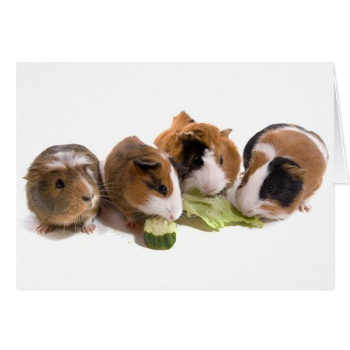 furnace guinea pigs who eat, greeting card