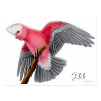 Galah Cockatoo Postcard