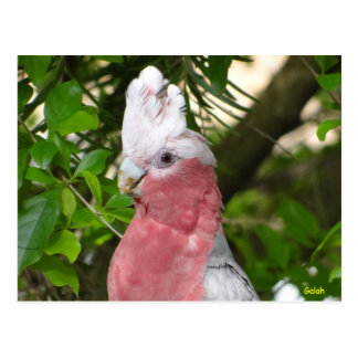Galah (Rose Breasted/Roseate Cockatoo) Postcard