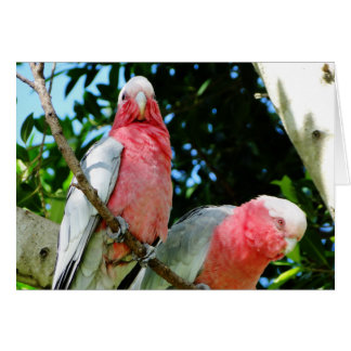 Galahs (Rose Breasted/Roseate Cockatoos) Card