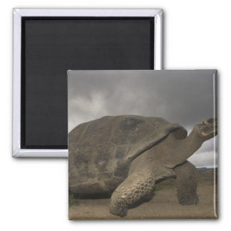 Galapagos Giant Tortoise Geochelone Square Magnet
