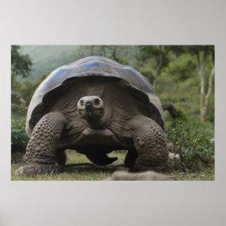 Galapagos Giant Tortoises Geochelone Poster