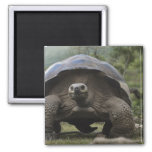 Galapagos Giant Tortoises Geochelone Square Magnet