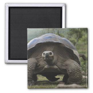 Galapagos Giant Tortoises Geochelone Square Magnet