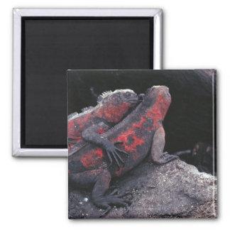 Galapagos iguana magnet