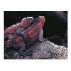 Galapagos iguana postcard