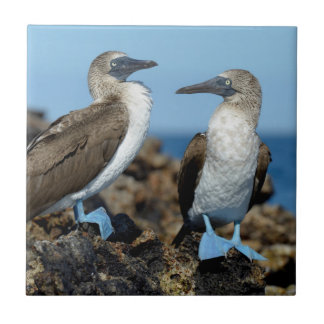 Galapagos Islands, Isabela Island Small Square Tile