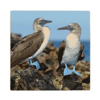 Galapagos Islands, Isabela Island Maple Wood Coaster
