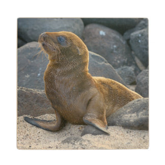 Galapagos sea lion wood coaster