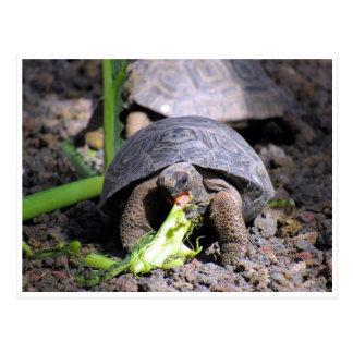 galapagos tortoise baby postcard