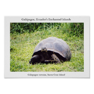 Galápagos tortoise, big as he wants to be posters