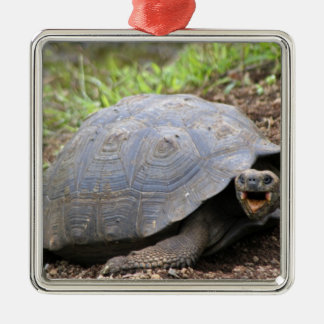 Galapagos Tortoise with mouth open Christmas Ornament