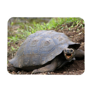 Galapagos Tortoise with mouth open Magnet