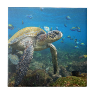 Galapagos turtles swimming in lagoon small square tile