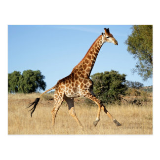Galloping Giraffe Postcard