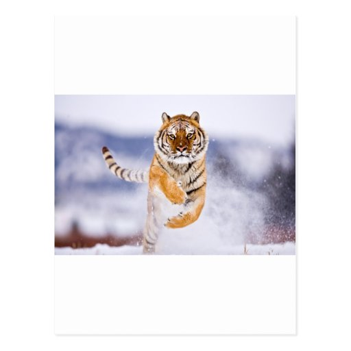 Galloping Tiger Post Cards