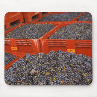 Gamay grapes just in from the harvest at the mouse pad