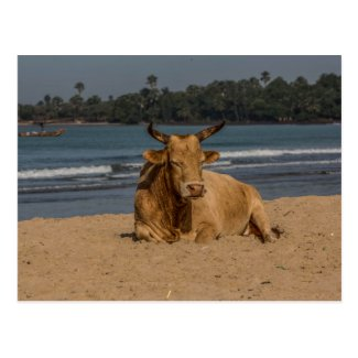 Gambia Cow Postcard