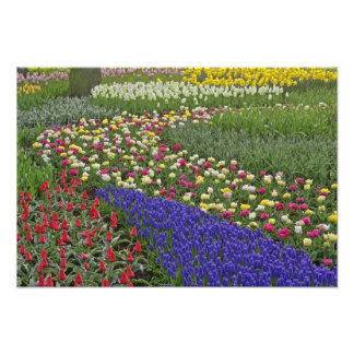 Garden design of Grape Hyacinth, and tulips, Photographic Print